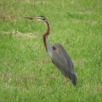 石垣島で野鳥観察ー2