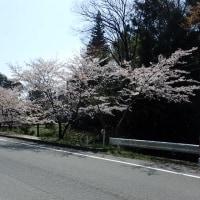 姫が谷の桜