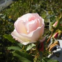 庭のもみじ紅葉と淡いピンクのバラ