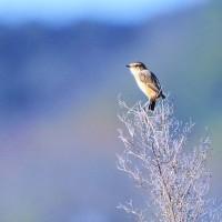今日の野鳥  ノビタキ