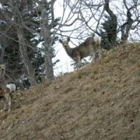 ◆野生のエゾシカの群れが国道沿いにぞろぞろ・・・・突然の飛び出しに注意して!
