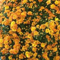 花だより・・・。『小菊』