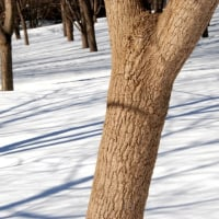 樹木ウォッチング冬から夏へ169ネグンドカエデ1