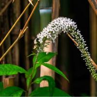 27/Jun カワセミママと茄子の花とハナトラノオ