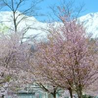 信州安曇野・・・桜の花の咲くころの・・・白馬村の小さな公園から