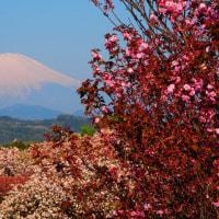 『大磯の桜』 富士見平