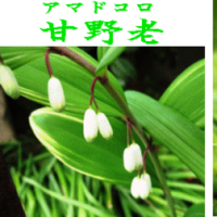 山野草≪アマドコロ・甘野老≫