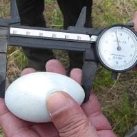 カワウの卵 擬似卵と入れ替え