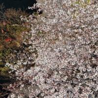 目黒界隈桜めぐり