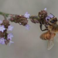 ○ミツバチ。