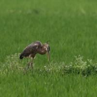 「ムラサキサギ 幼鳥」 静の編!