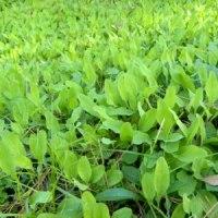土手にオオジシバリの葉がたくさん