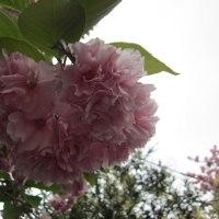 2017年4月八重桜