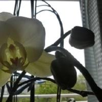 胡蝶蘭と八重桜