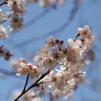 サクランボの花満開