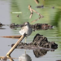 蓮田で見られた鳥