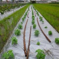 中玉トマト、初採り