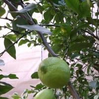 【春まで待ちましょう〜♪レモンの苗木の仮植え】