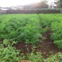 緑の海・・ニンジン畑