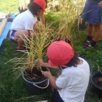 平成28年多賀小学校での稲刈り指導へ。