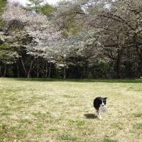 花びらの絨毯と、カワヨの山桜