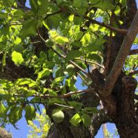 若葉と梅の実