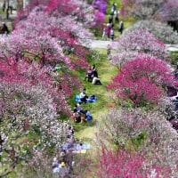今シーズンの花桃画像