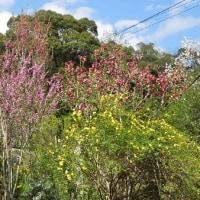 いまが盛り。紅白のハナズオウ、黄色と白の山吹、黄花のエニシダ/アジサイとツバキの植え替えもしました。