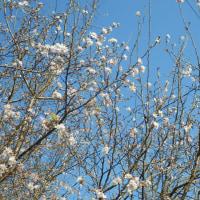 桜が満開(外もと内も)