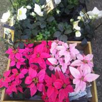 クリスマスローズ、スーパーゼラニウム、ピンクのポインセチア 耳つぼジュエリー西川さんとのコラボ
