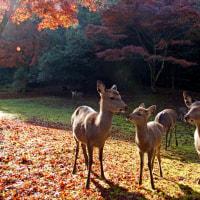 行く秋を惜しむ・宮島 161122