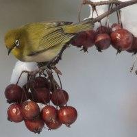 今日の鳥 メジロ 真冬にメジロが居ました 蝦夷の小りんごを啄んでいました。エゾリス