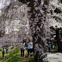 観音寺川の桜 (猪苗代町)  2017,05,04
