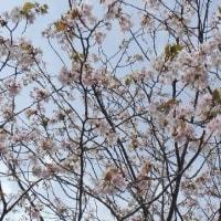 山桜が満開です♪