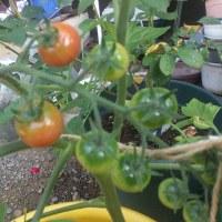 我が家の家庭菜園、初収穫・・・