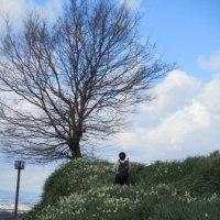 冬の青空の下に白い「二ホン水仙」が見ごろでした。