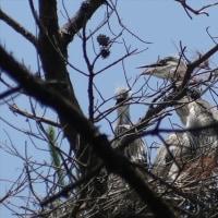 アオサギ 幼鳥、ガビチョウ