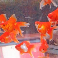 江戸川区特産 金魚まつり