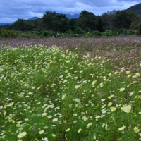 由良川花庭園のコスモス畑