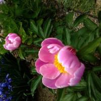 みかんの花が咲いている