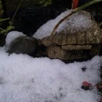 雪のナンテン鉢