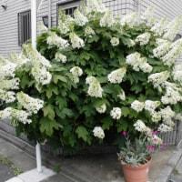 代々木上原の街角 「カシワバアジサイ」咲きました