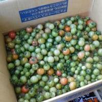青いミニトマトの終わり