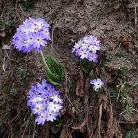 エベレスト街道の花と山