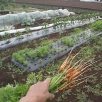 春ジャガイモの収穫が待ち遠しい