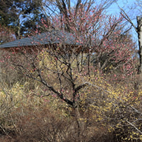 昭和記念公園 梅、ろうばい、福寿草、水仙、菜の花 2017