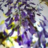 藤のお花その8。