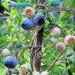 ブルーベリーの収穫やっと始まる