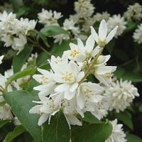 季節の花「空木 (うつぎ)」