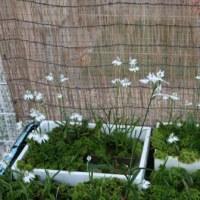 らん丸の池 鷺草咲きそろいました